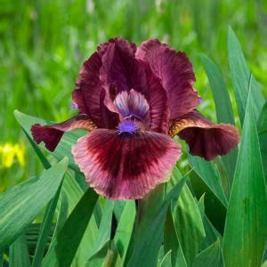 brecks cats eye dwarf bearded iris rose red flowers