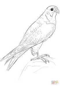 coloring page falcon bird peregrine falcon coloring page free printable coloring pages
