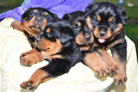 german rottweiler puppies for sale in pa view ad rottweiler puppy for sale pennsylvania quarryville usa