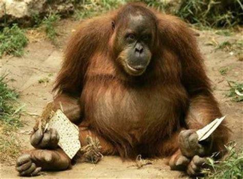 babbuini sedere rosso dik orang oetan wijfje moet op streng dieet