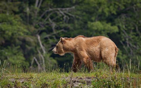 imagenes de osos wallpaper 26 fondos de pantalla del oso pardo wallpapers de osos en hd