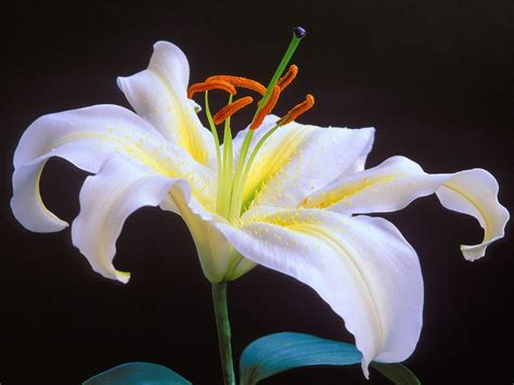 lily flower romantic flowers lily flower