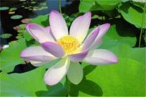 fiori di loto mantova mantova citt 224 d arte lombardia