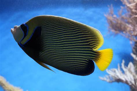 fishnet 143 fotos 216 beitr free photo emperor angelfish angelfish fish free image on pixabay 793374