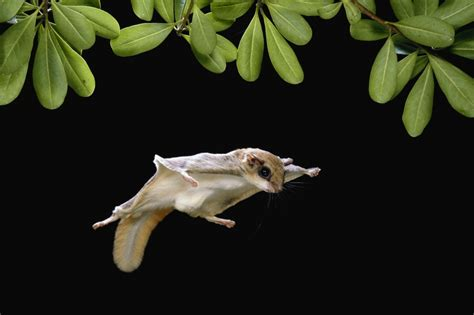 scoiattolo volante la straniera lo scoiattolo volante si aggira per new