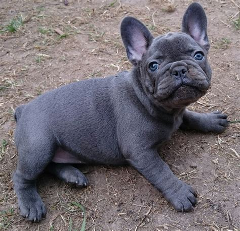 french bulldog for sale uk solid blue french bulldogs puppies for sale alloa