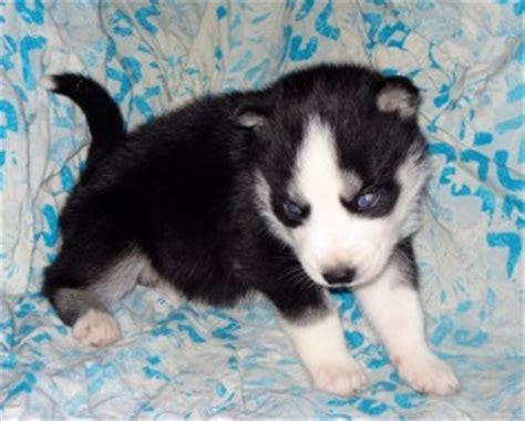 free puppies dothan al siberian husky puppies for re homing siberian husky puppies for breeds picture