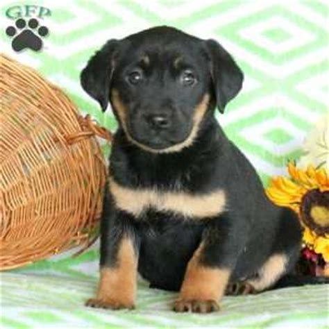 german sheprador puppies for sale german sheprador puppies for sale in md nj de ny va philly baltimore and dc