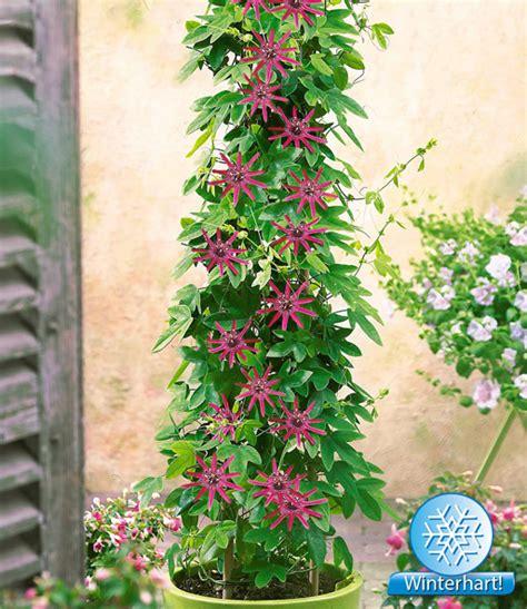 immergrüne kletterpflanze winterhart winterharte passionsblume ladybirds baldur garten