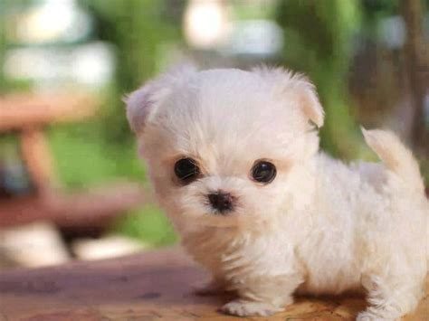 adorable small puppies best 25 teacup puppies ideas on tiny