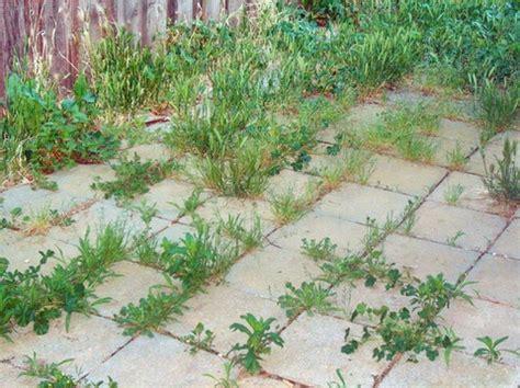 Patio Pavers Weeds Common Garden Weeds Yuba Sutter Localwiki