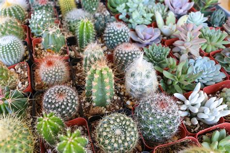 cactus for sale 2 quot succulent cactus mix succulents for sale bulk succulent wedding favors