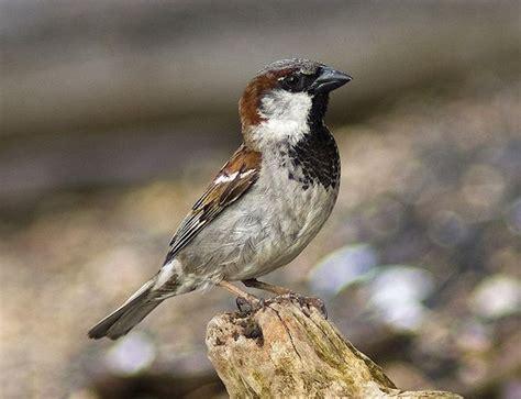house sparrow 187 bird watcher s digest