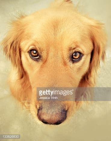 golden retriever eye color golden retriever puppy stock photo getty images