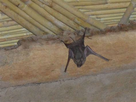 Rat Dans Le Plafond by Chauve Souris A L Abri D Un Plafond Berb 232 Re Photo De