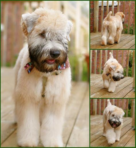 soft coated wheaten cuts perfect wheaton hair cut i want to start growing out