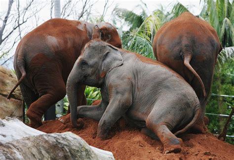 Elephant Bigsize Brown beautiful animals safaris beautiful majestic elephants