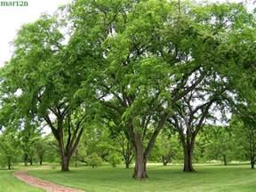 Green Vase Zelkova Tree American Elm Ulmus Americanus