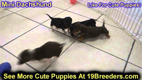 adoption michigan miniature dachshund puppies rescue michigan photo