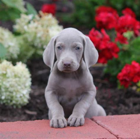 weimaraner puppies for sale oregon weimaraners page 2 for sale ads free classifieds