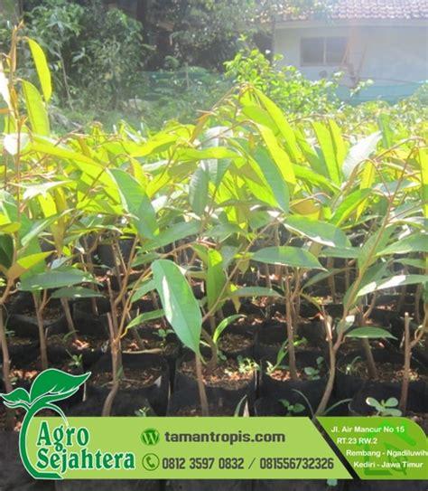 Bibit Durian Matahari Unggul jual bibit durian montong matahari