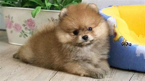 where can i find a pomeranian puppy orange pomeranian puppy puppies