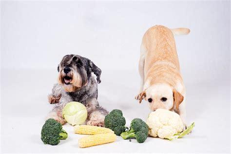 can dogs cauliflower can dogs eat cauliflower cuteness