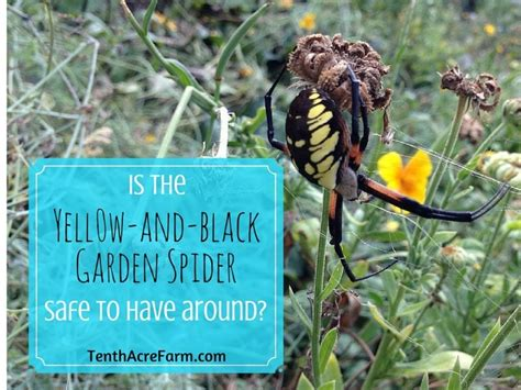 Black And Yellow Garden Spider Kill Is The Black And Yellow Garden Spider Safe To Around