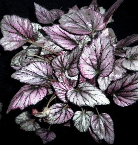 Tanaman Hias Rex Begonia budidaya tanaman budidaya tanaman hias begonia