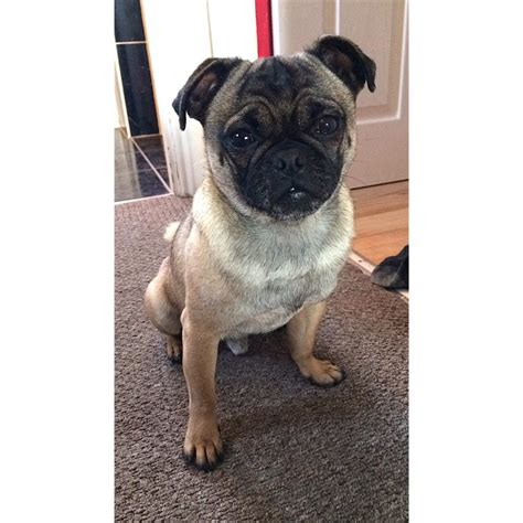 pugs crossed with russells pug cross uxbridge middlesex pets4homes