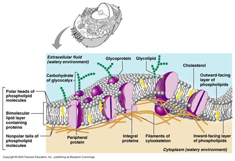ch  cell  membrane structure