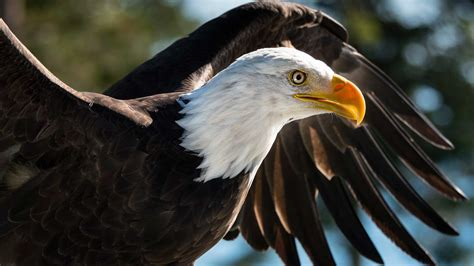 pictures of bald how to be a eagle