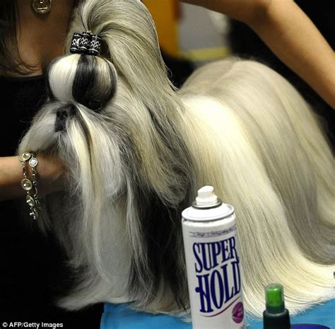 what type of coat does a shih tzu westminster show 2011 glamorous up dos but not fashion week daily mail