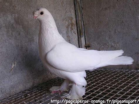 uzbek pigeons pigeon photos claqueur ouzbek