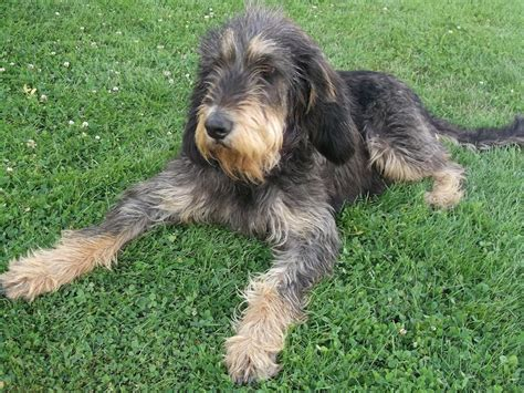 griffon dogs pointing wirehaired griffon breeds picture