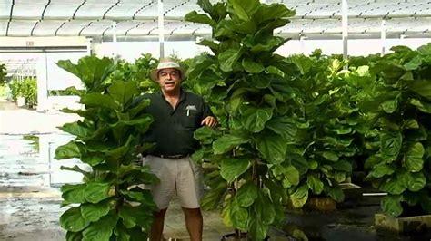 Ficus Lyrata Pflege by Ficus Lyrata Care Www Imgkid The Image Kid Has It