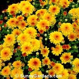 Types Of Garden Soil - chrysanthemum x morifolium florist s chrysanthemum