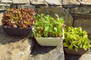Spinach Container Garden - growing lettuce in containers how to grow lettuce in