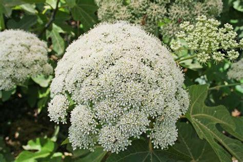 lada fioritura magydaris pastinacea flora di sardegna