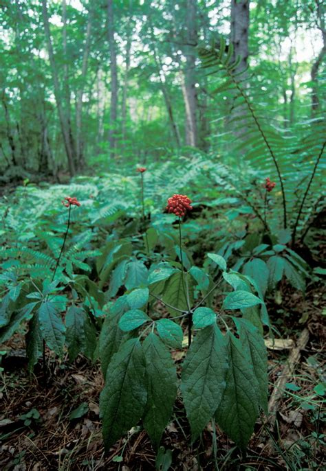Sho Natur Gingseng amur heilong biodiversity wwf
