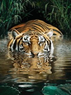 tiger gif  gif images