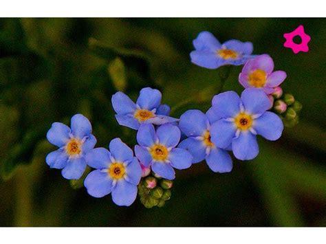 imagenes de flores no me olvides no me olvides flores pinterest