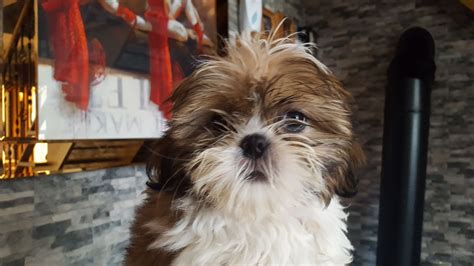 shih tzu puppies for sale in sheffield shih tzu puppy sheffield south pets4homes