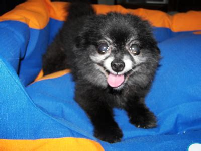 pomeranian rescue bc animal advocates society of bc pomeranian puppymill rescue ruby