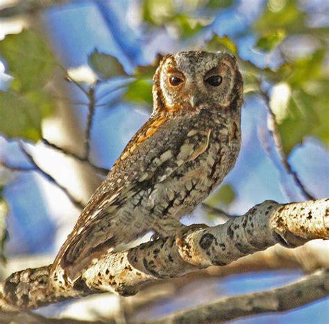 owling california audubon california