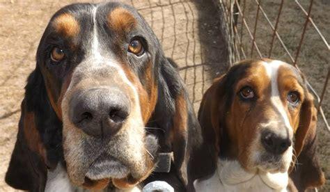 basset hound puppies for sale in iowa elite basset hounds basset hound breeder fayette iowa