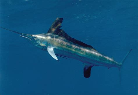 wallpaper blue marlin white marlin blue background photo and wallpaper cute