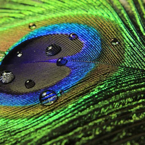 Silk Peacock Home Decor by Peacock Feathers For Embellishment Of Wedding Cards
