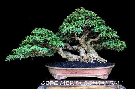 gede merta  multi talented bali bonsai master bonsai