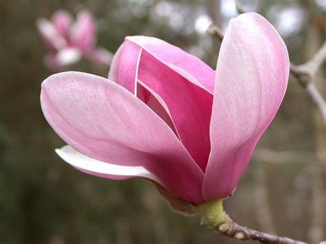 why does my little grem magnolia have dark brown leaves plant of the month magnolia grndoordesign